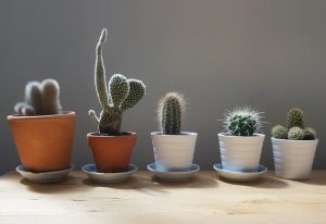 Cactuses in pots