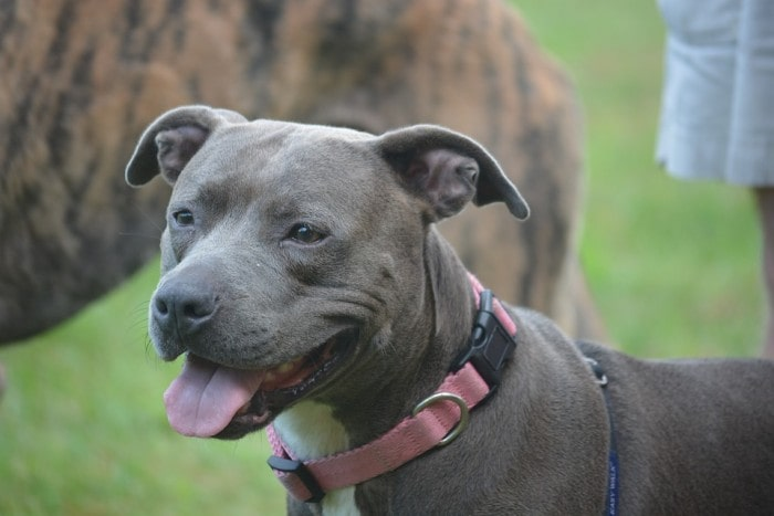 Why Pit Bulls Need Special Dog Collars
